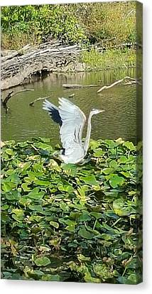 Heron Wings Canvas Print