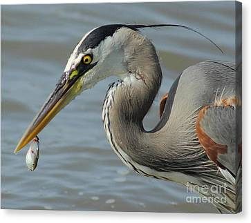 Heron With Injured Shad Canvas Print by Robert Frederick