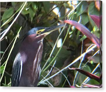 Heron With Yellow Eyes Canvas Print by Val Oconnor