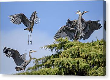 Herons Mating Dance Canvas Print by Keith Boone