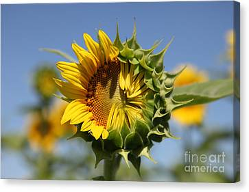 Sunflower Canvas Print - Hesitant by Amanda Barcon
