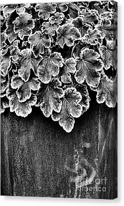 Heucherella Solar Eclipse Monochrome Canvas Print