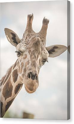 Hi There, I'm A Giraffe Canvas Print by David Collins