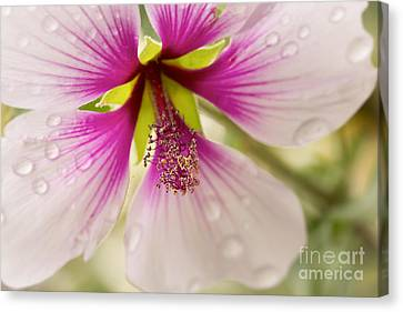 Hibiscus Canvas Print - Hibiscus After The Rain by Ana V Ramirez