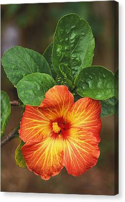 Hibiscus Canvas Print by Allan Seiden - Printscapes