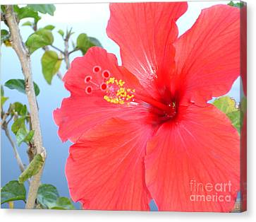Hibiscus At Full Bloom Canvas Print by Chad Natti