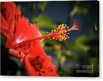 Hibiscus Macro Canvas Print by Robert Bales