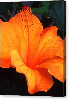 Hibiscus Canvas Print by Pat Exum