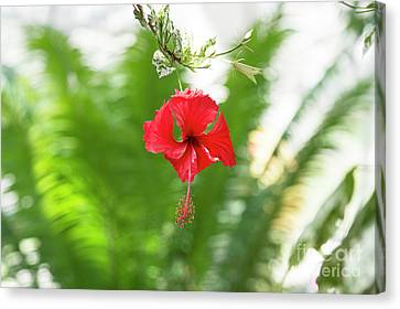 Hibiscus Canvas Print by Tim Gainey