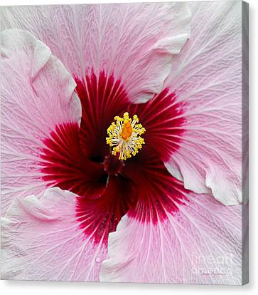 Hibiscus With Cherry-red Center Canvas Print