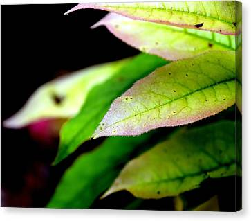 Hickory Leaf Canvas Print