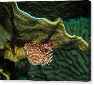 Canvas Print featuring the photograph Hidden Christmastree Worm by Jean Noren