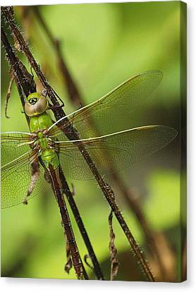 Hidden Dragon Canvas Print by Monica Veraguth