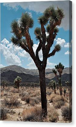 Hidden Valley Joshua Tree Portrait Canvas Print