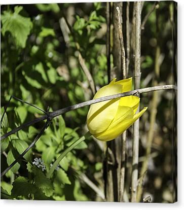 Hidden Yellow Tulip Canvas Print by Teresa Mucha
