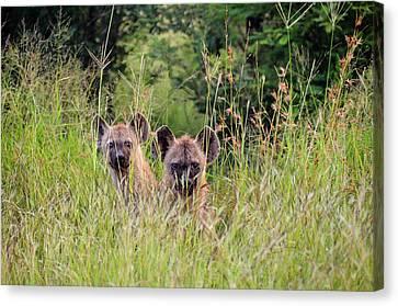 Hide-n-seek Hyenas Canvas Print