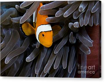 Hiding Clown Anemonefish Canvas Print by Dave Fleetham - Printscapes