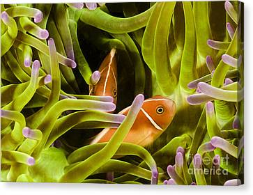 Hiding Clownfish Canvas Print by Dave Fleetham - Printscapes