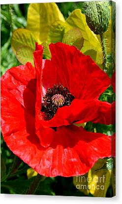 Hiding Red Poppy Canvas Print by Mary Deal