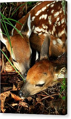 Hiding Twin Whitetail Fawns Canvas Print by Michael Dougherty