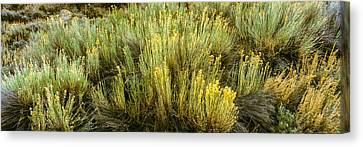 High Angle View Of Sagebrush In Field Canvas Print by Panoramic Images