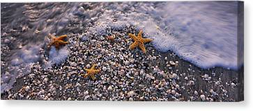 High Angle View Of Three Starfish Canvas Print