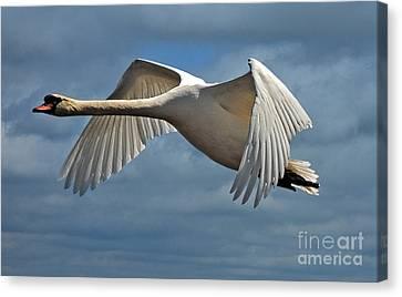 Flying Swan Canvas Print - High Flying by Lois Bryan