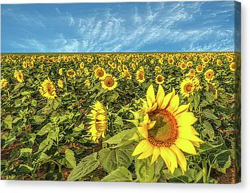 High Plains Sunflowers Canvas Print