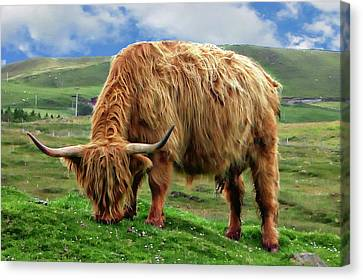 Highland Cow Canvas Print by Anthony Dezenzio