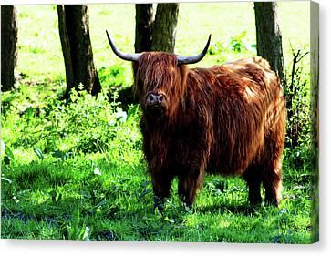 Highland Cow Canvas Print by Dan Pearce