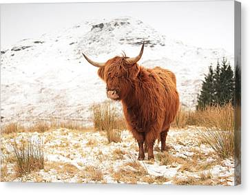 Highland Cow Canvas Print by Grant Glendinning