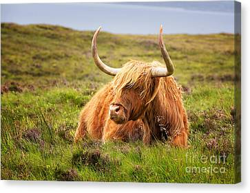 Highland Cow Canvas Print by Jane Rix