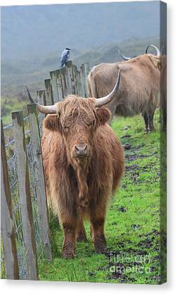 Highland Cow Stanidng By A Fence Line Canvas Print by DejaVu Designs