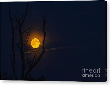 Highland Moon  Canvas Print by Thomas R Fletcher