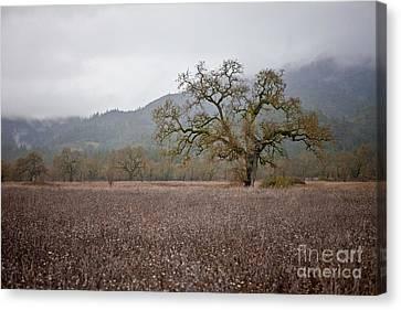 Sonoma Valley Canvas Print - Highway Oak by Derek Selander