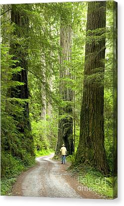 Hiker On A Road Through Redwoods Canvas Print by Inga Spence