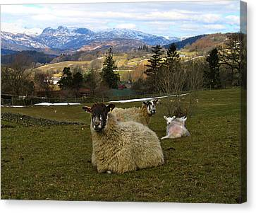 Canvas Print featuring the photograph Hill Sheep by RKAB Works