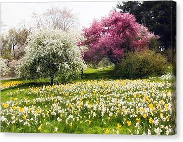 Hills Of Daffodils Canvas Print by Jessica Jenney