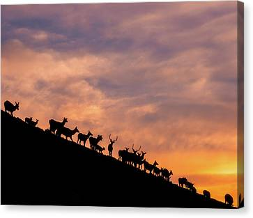 Canvas Print featuring the photograph Hillside Elk by Darren White