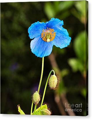 Himalayan Blue Poppy Canvas Print by Louise Heusinkveld