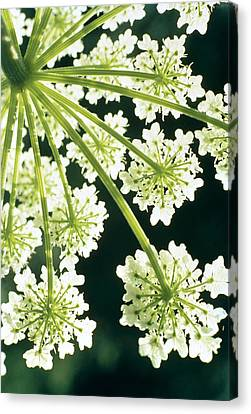 Blossoms Canvas Print - Himalayan Hogweed Cowparsnip by American School