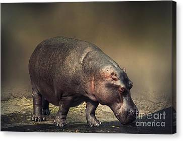 Canvas Print featuring the photograph Hippo by Charuhas Images
