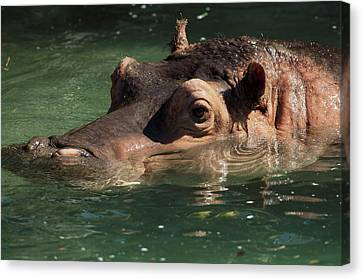 Canvas Print featuring the photograph Hippopotamus In Water by JT Lewis