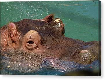 Canvas Print featuring the photograph Hippopotamus by JT Lewis