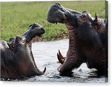 Hippos Fighting Canvas Print