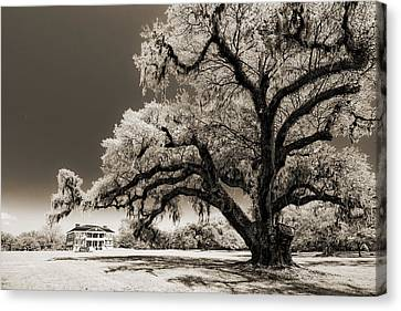 Live Oaks Canvas Print - Historic Drayton Hall In Charleston South Carolina Live Oak Tree by Dustin K Ryan