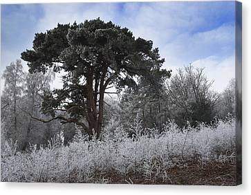 Hoar Frost Canvas Print by Hazy Apple