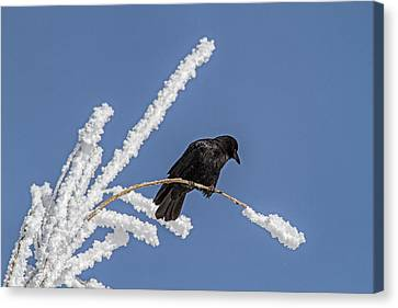 Hoarfrost And The Crow Canvas Print