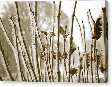 Hoarfrost Branches In Sepia Canvas Print