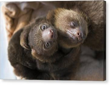 Sloth Canvas Print - Hoffmanns Two-toed Sloth Orphans Hugging by Suzi Eszterhas